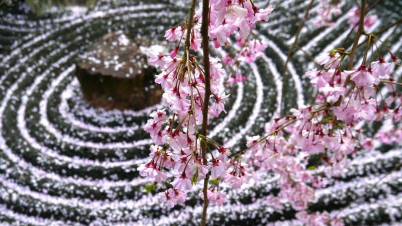 Екскурзия до Япония за вишните