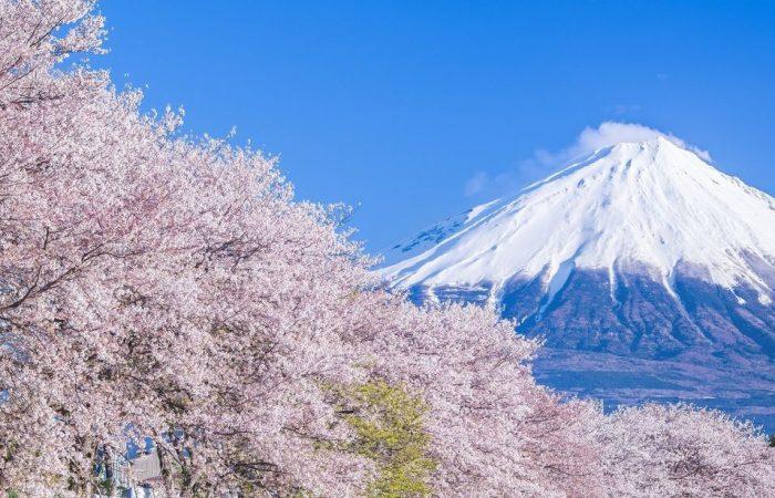 Япония и цъфналите вишни